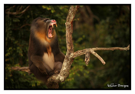 Mandrill_m_le_baillement