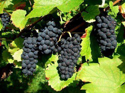 raisin_noir2