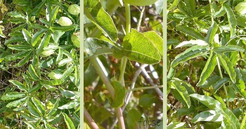 tiges souples anguleuses munies de vrilles stipules réniformes