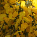 2009 05 17 Fleurs de genet en Ardèche