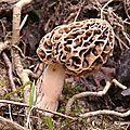 Morille commune près des racines d'un frêne.