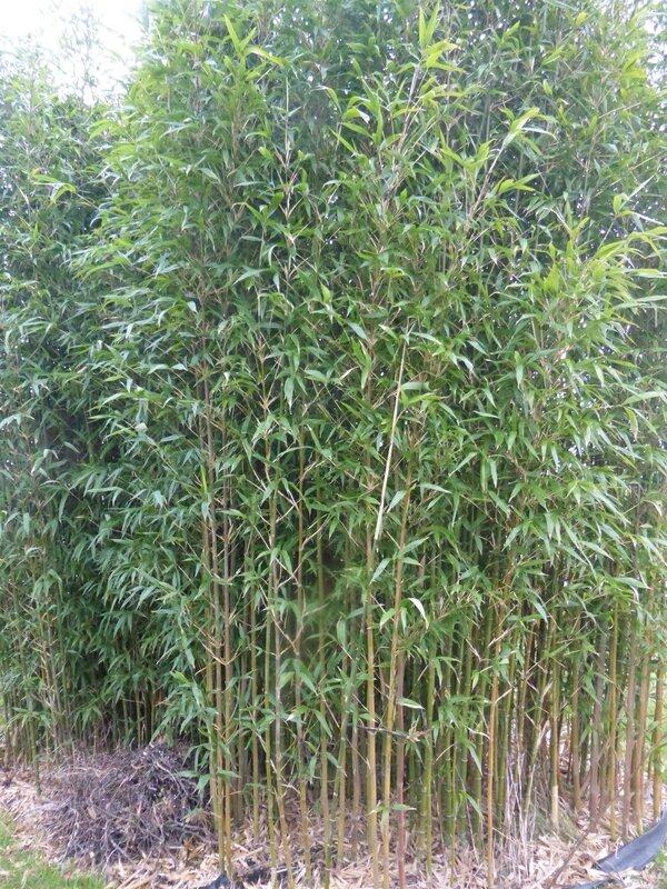 23-bambous