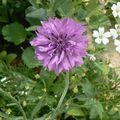 fleurs du jardin et autres 20 07 2010 027