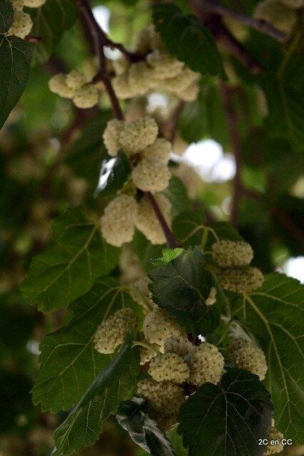 Fruits du murier - Noto - Sicile