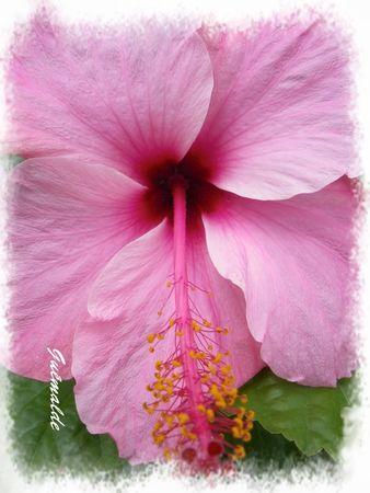 fleurshibiscus__3_