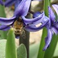 2008 04 15 Une abeille qui butine une fleur de Jacinthe