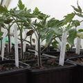 2009 04 25 Jeunes plants de tomates en godets sous la serre