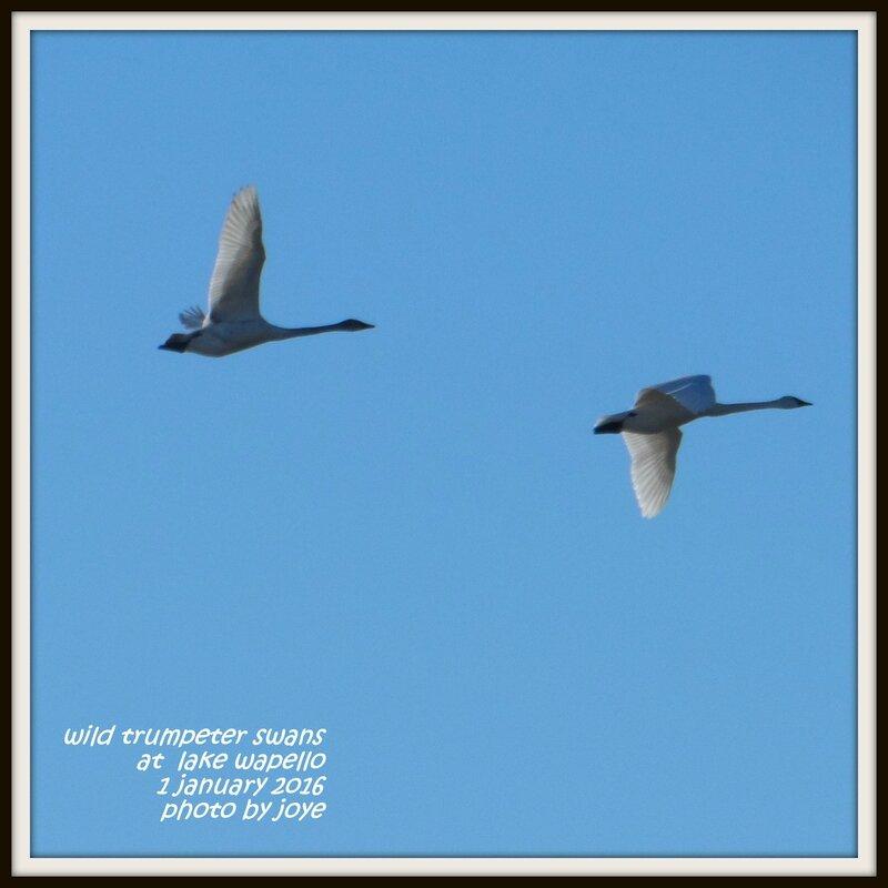 swan pix