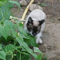 2008 06 16 Blanco qui mange une feuille de haricot