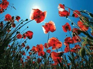 coquelicots__clair_s