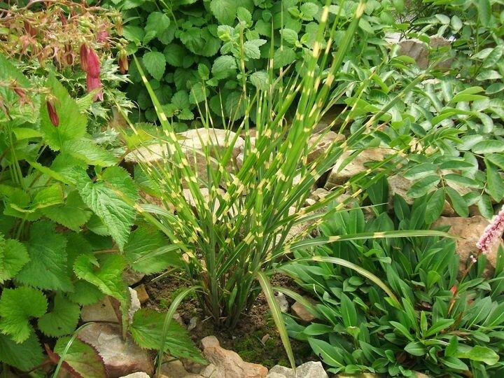 miscanthus sinensis 39 zebrinus 39 eulalie roseau de chine photo et fiche de culture le jardin. Black Bedroom Furniture Sets. Home Design Ideas