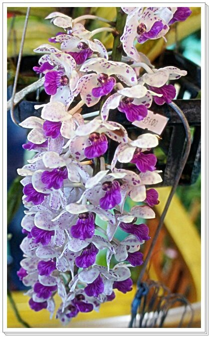MACRO ORCHIDEE GRAPPE MAUVEDD