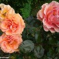 Rose 'Bora-Bora'
