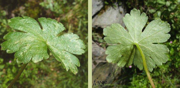 feuilles orbiculaires divisées en 5-7 lobes échancrés