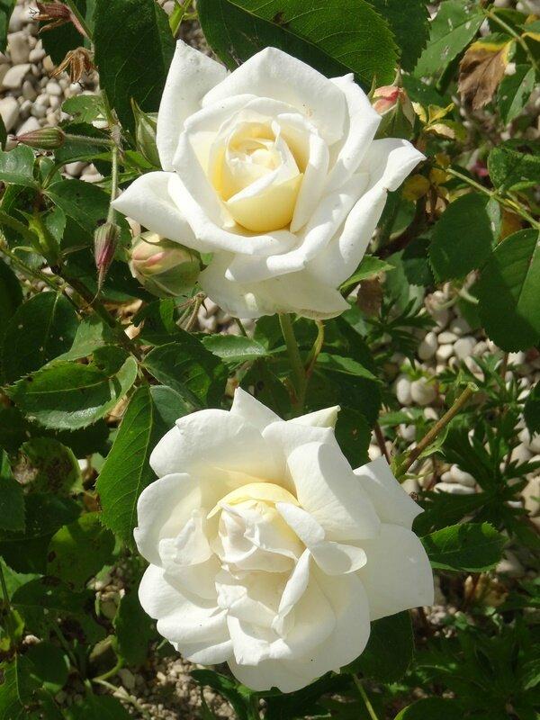 rosier de willemse blanc numero 2