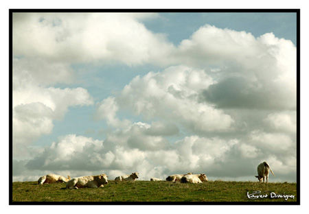 Vaches_normandes_PF