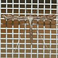 Pterophoridae sp. 07