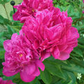 Paeonia officinalis 'Karl Rosenfield