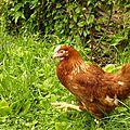 La poule et le fil