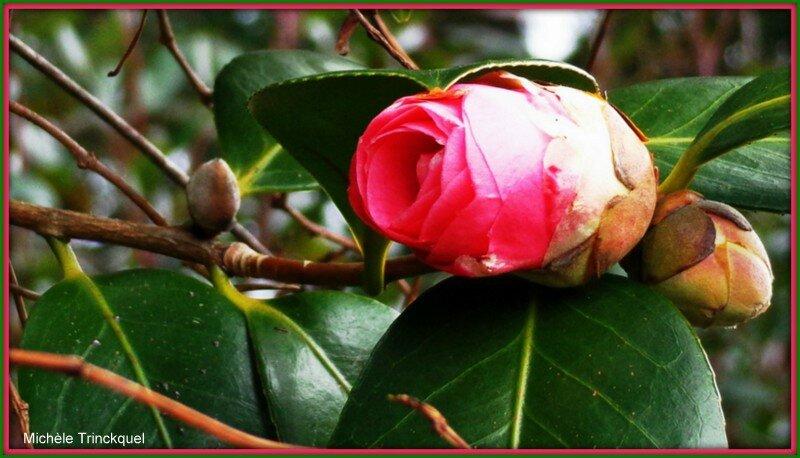cam lia 1802153 photo de fleurs les photos de mich le. Black Bedroom Furniture Sets. Home Design Ideas
