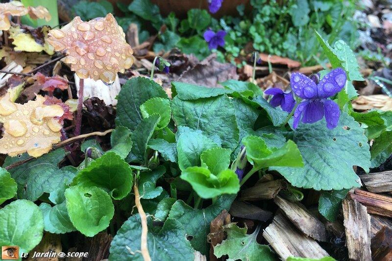 Violette-et-Heuchère-caramel