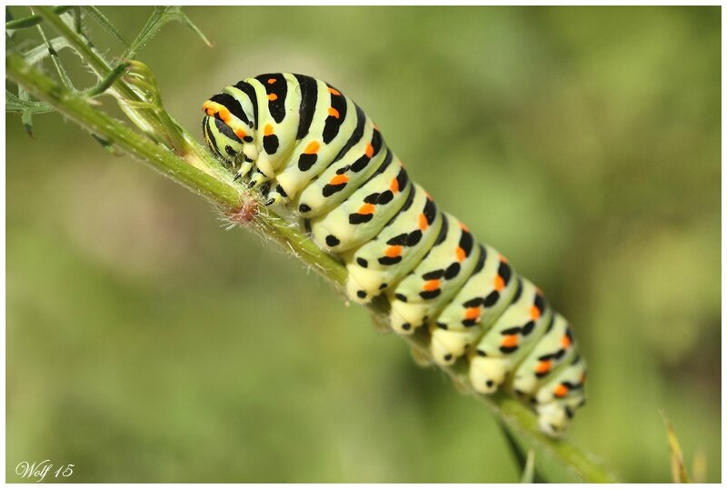 machaon15-06