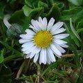 2008 04 16 Une fleur de Pâquerette