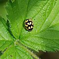 La coccinelle à damier (Proprylea quatuordecimpunctata)