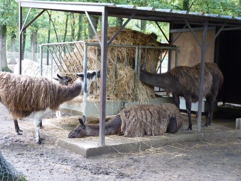 Le safari de peaugres la haute loire dans tous ses for Zoo haute loire