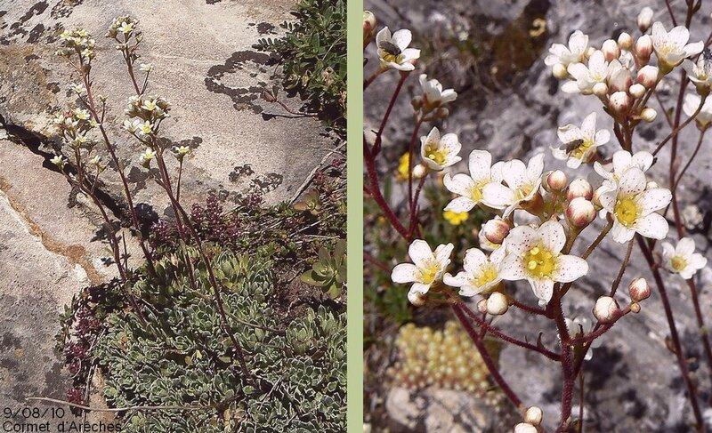 Fleurs blanches en panicules corymbiformes plus ou moins fournies