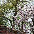 Un petit sourire du japon : le prunus serrulata