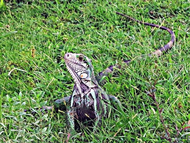 Zoo iguane