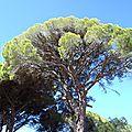 grece pinede du kalogria pin parasol