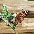papillon_ 015