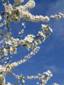 prunus printemps2