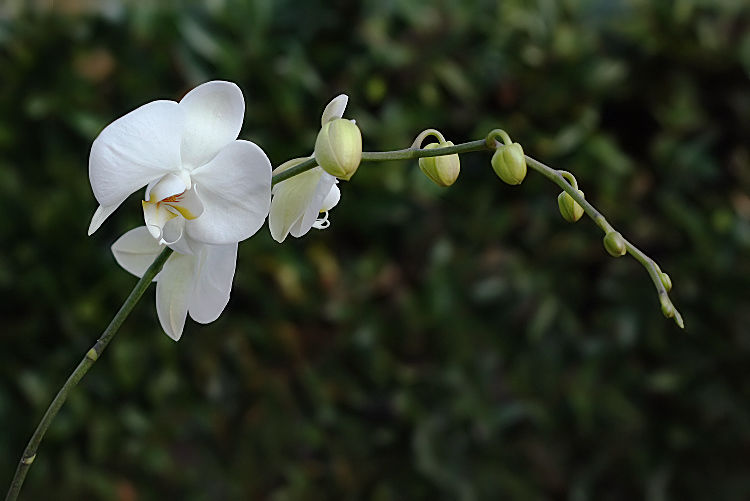 orchid_4402