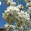 cerisier en fleurs 4