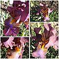 Iris mai 2017 (6)