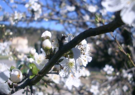 almond_bloom1