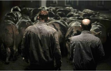 bullhead vaches