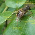 Une mouche aux larves saprophages...