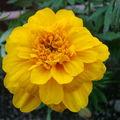 2008 07 15 Une fleur d'oeillet d'Inde