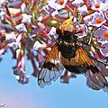 Une mouche aux yeux très développés imitant une abeille