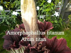 amorphophallus_titanum0006