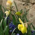 2008 04 01 Mes narcisses double et mes Jacinthes