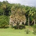 palmier Elata