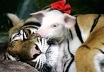 tigres3