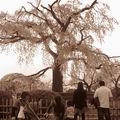 Un des abres les plus populaires à Kyoto