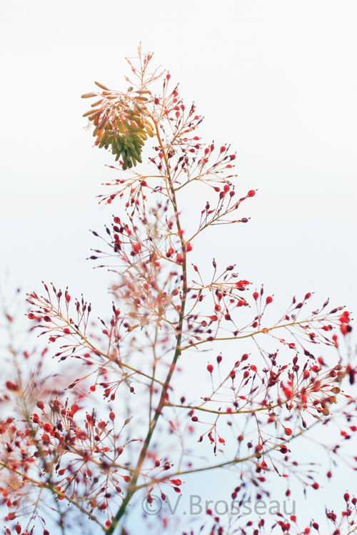 plume-poppy14-02