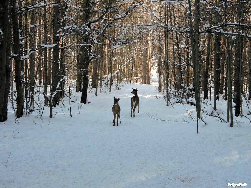 Photo-deux-chevreuils-forêt